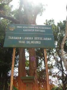 Pohon Tembaga 1