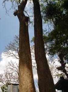 pohon tembaga 2